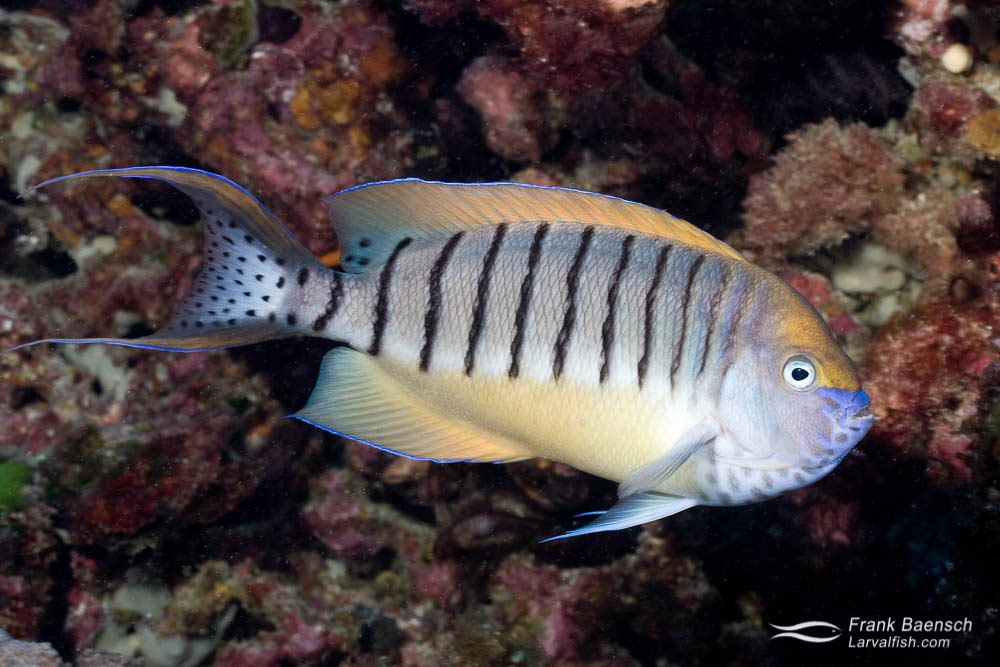 A rare look at a male half-banded angelfish (Genicanthus semicinctus). hTo my surprise, half-banded angels species are quite common  on Lord Howe Island reefs below 50 feet. Solomon Islands.