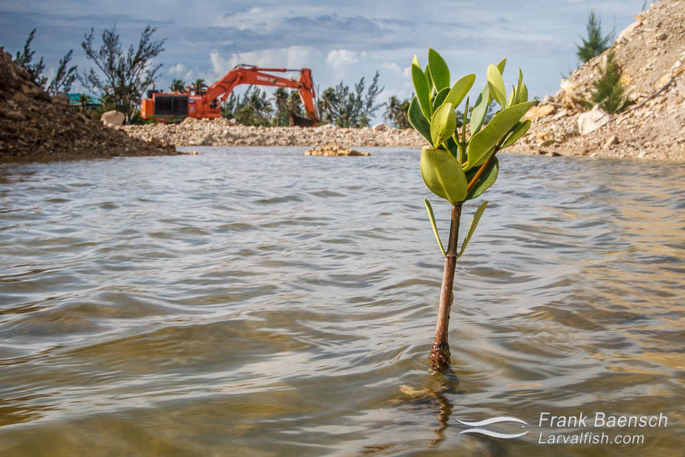 A mangrove pod sprouts up amidst a dredging project on Cat Island, Bahamas.