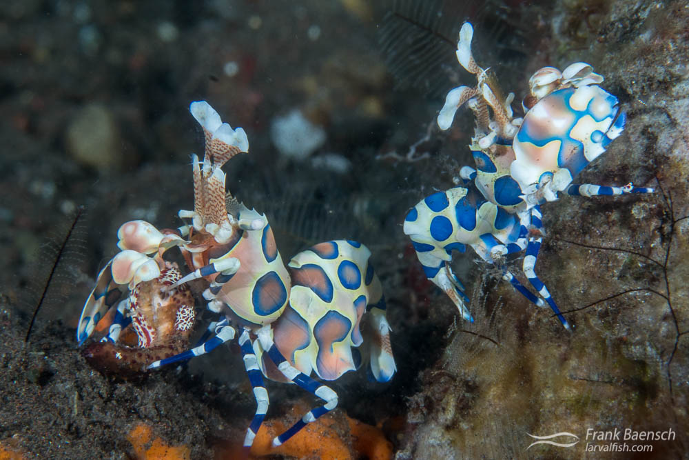 A pair of harlequin shrimps (Hymenocera elegans) feeding on a starfish (Linkia sp.) in Indonesia.