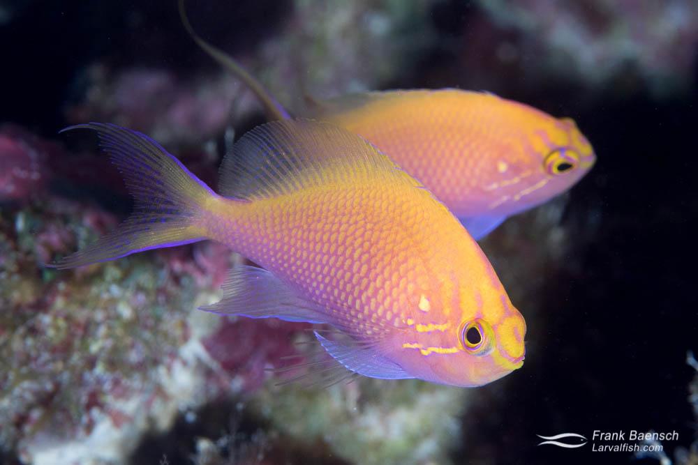 Two hawk anthias (Serranocirrhitus latus) on a deep reef in Fiji.
