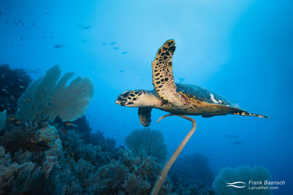 Hawksbill turtle swims over soft corals