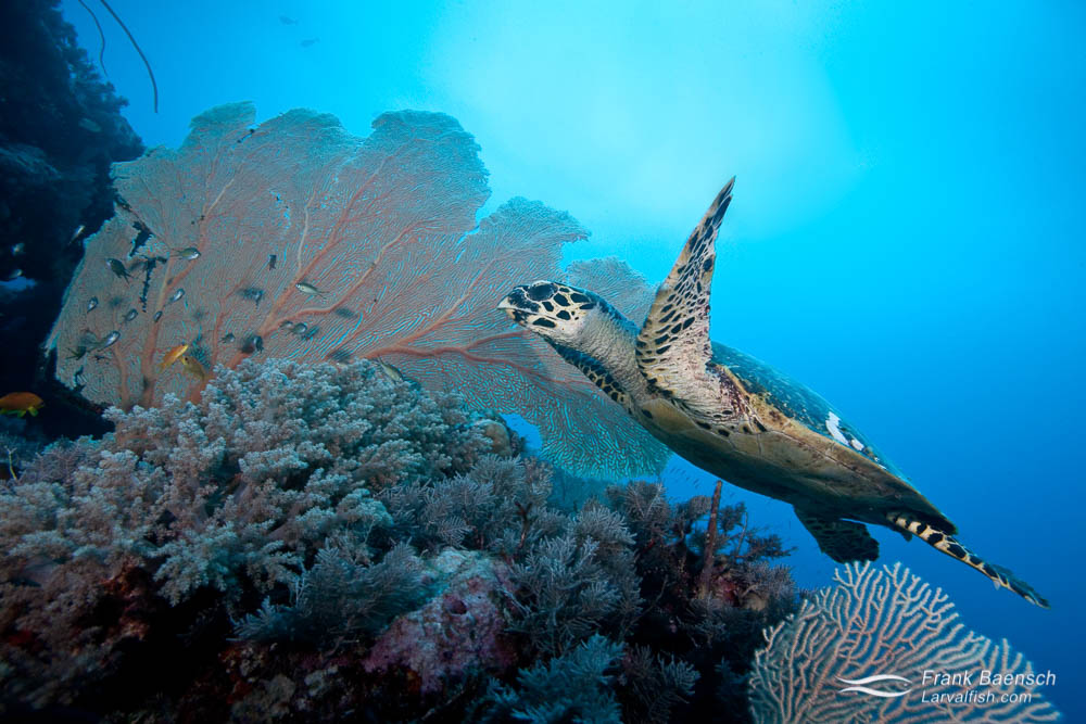 Hawksbill turtle swims over soft corals.
