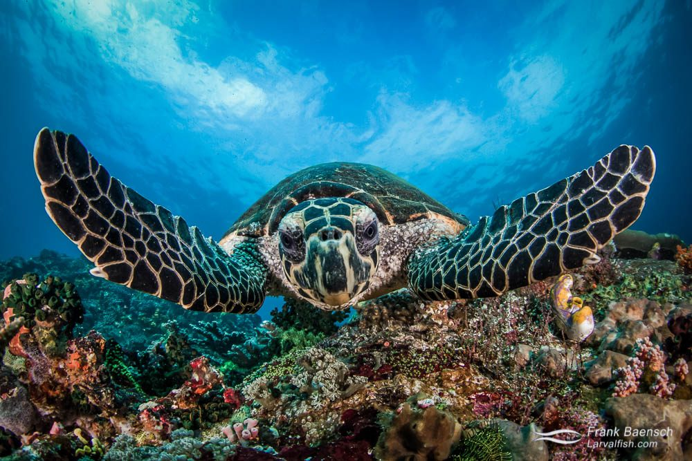 Hawksbill turtle head on close up on a reef in Indonesia