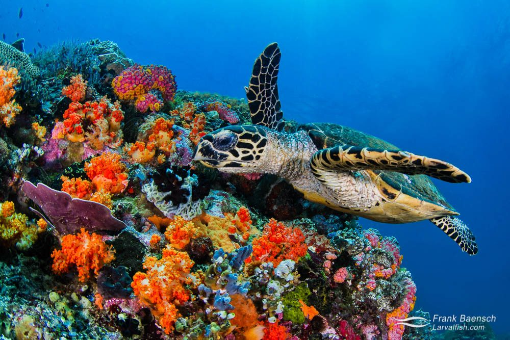 A hawksbill sea turtle swims over colorful soft corals. Indonesia.