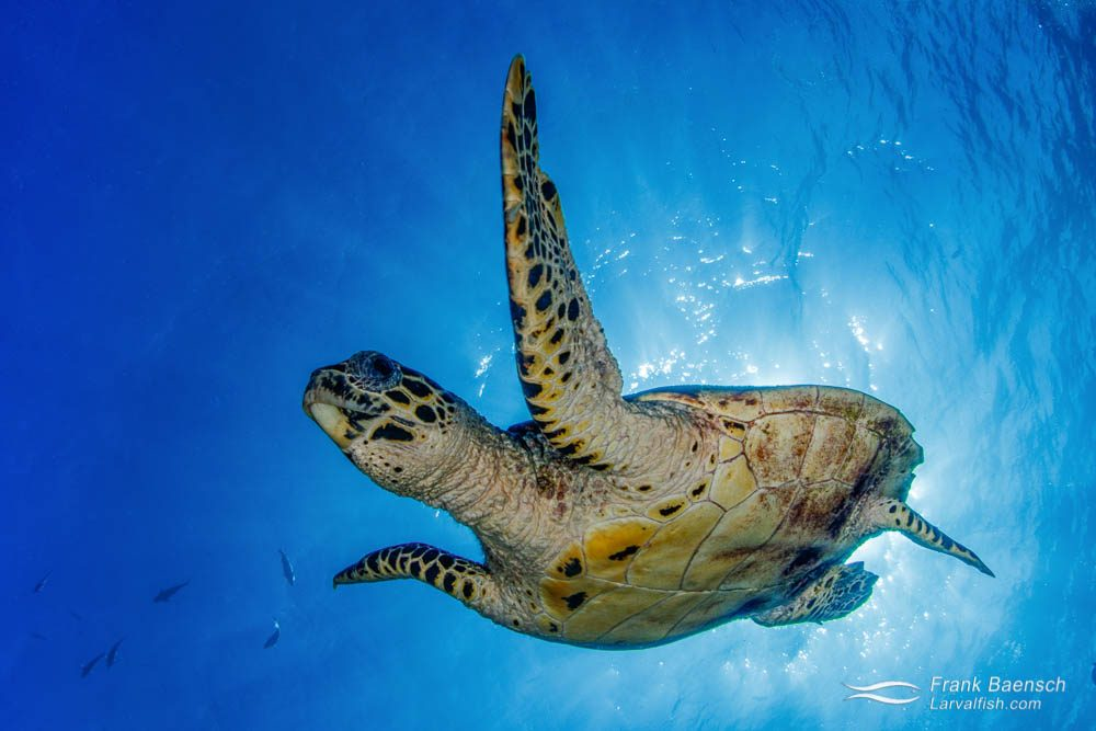 Hawksbill turtle (Eretmochelys imbricata) swims down from the surface in Palau while blocking the sun.