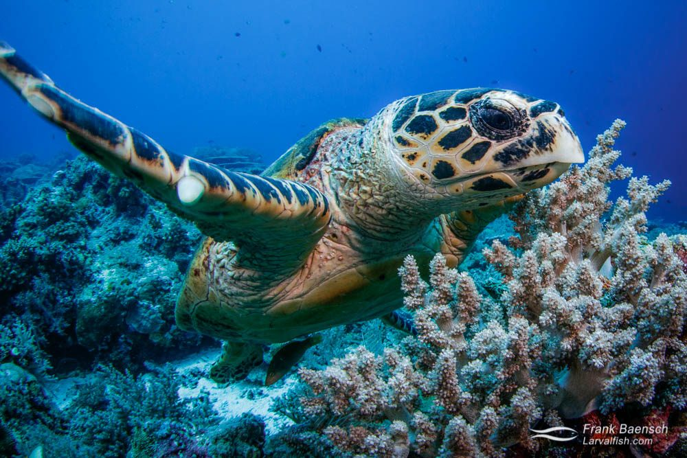 Head on close up of hawksbill turtle