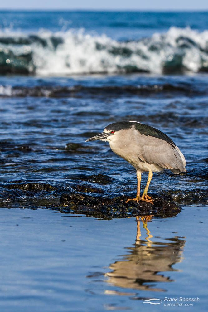 Black-crowned night heron (Nycticorax nycticorax). Hawaii.