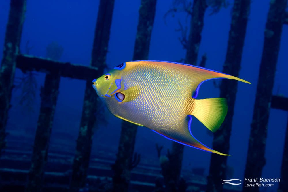 A queen angelfish (Holacanthus ciliaris) on a wreck in the Bahamas.
