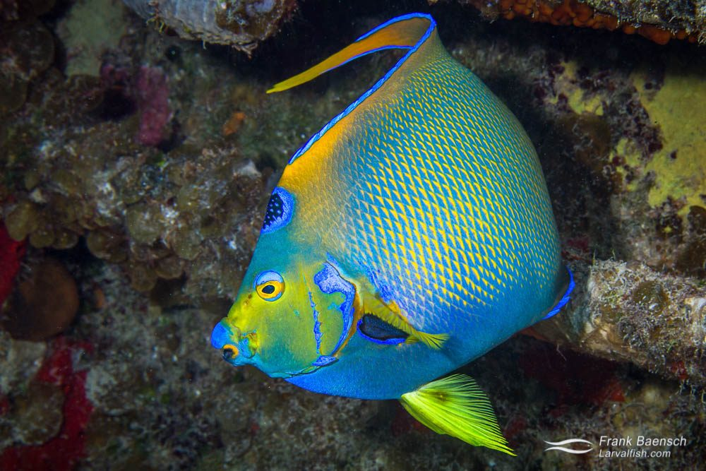 Queen angelfish (Holacanthus ciliaris) on a wreck in the Bahamas.