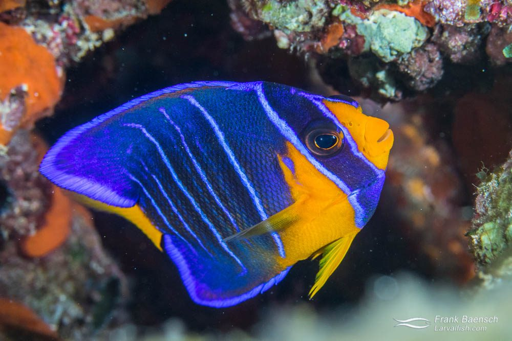 Juvenile queen angelfish (Holacanthus ciliaris). Bahamas.