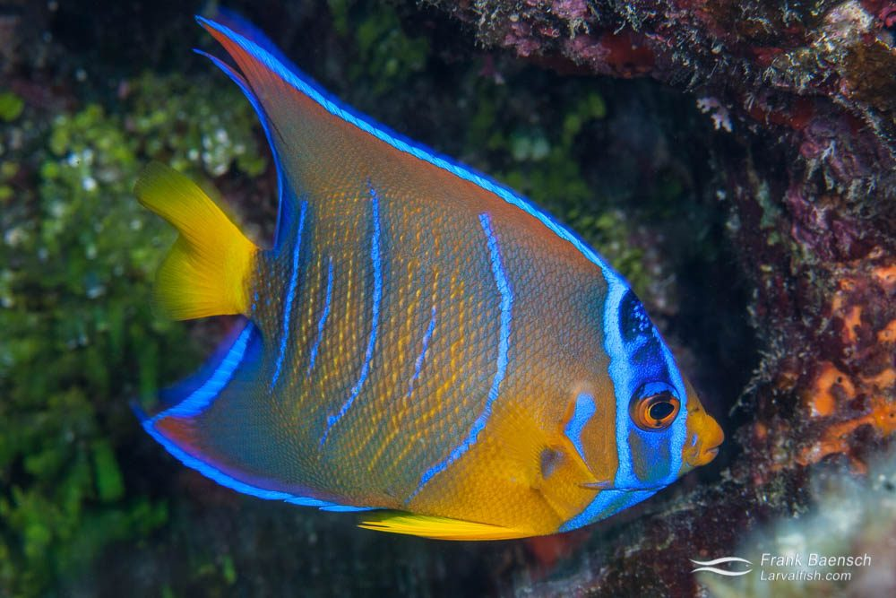 A queen angelfish (Holacanthus ciliaris) sub-adult retreats into hiding on a Bahamian reef. Bahamas.