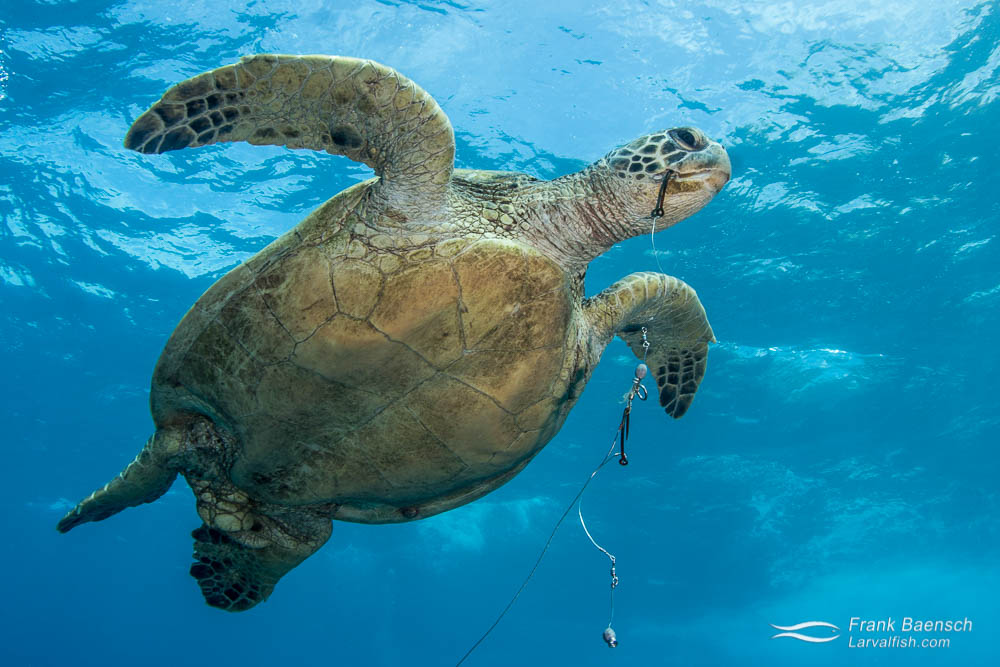 Green sea turtle (Chelonia mydas) with a  hook and leader hanging from its mouth off Oahu.