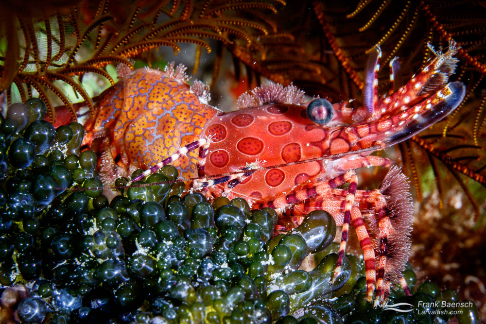 Humpback shrimp (Saron sp.). Fiji.