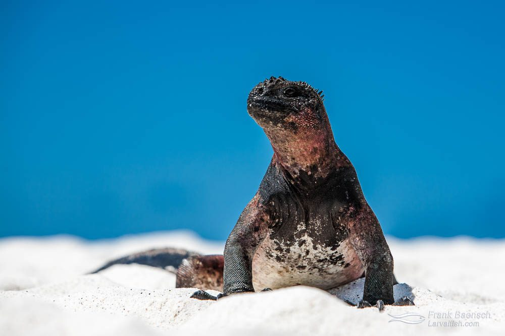Clsoe up of a marine iguana on a beach with blue sky