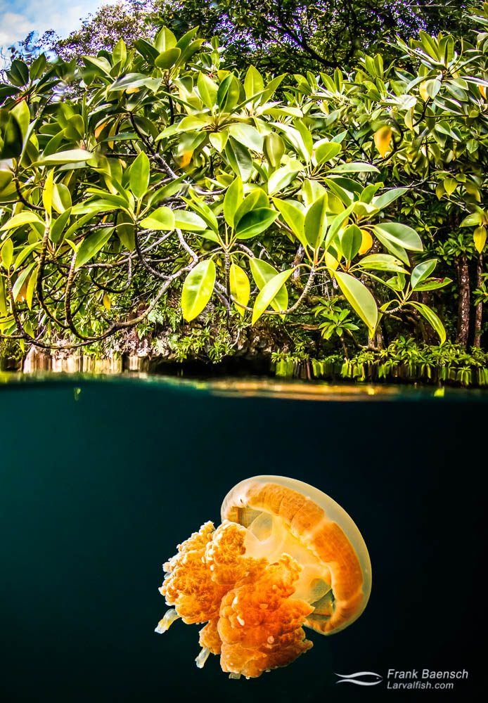Over-under scene of jellyfish under mangroves in Palau.