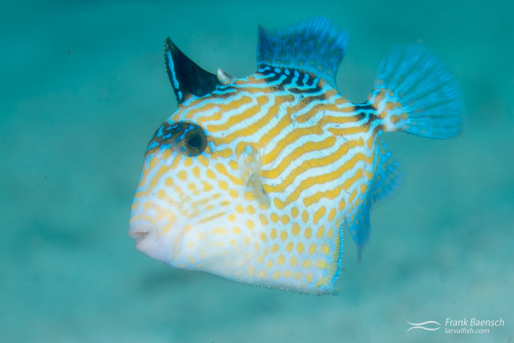 Blue tiggerfish (Pseudobalistes fuscus) juvenile in the Solomon Islands.