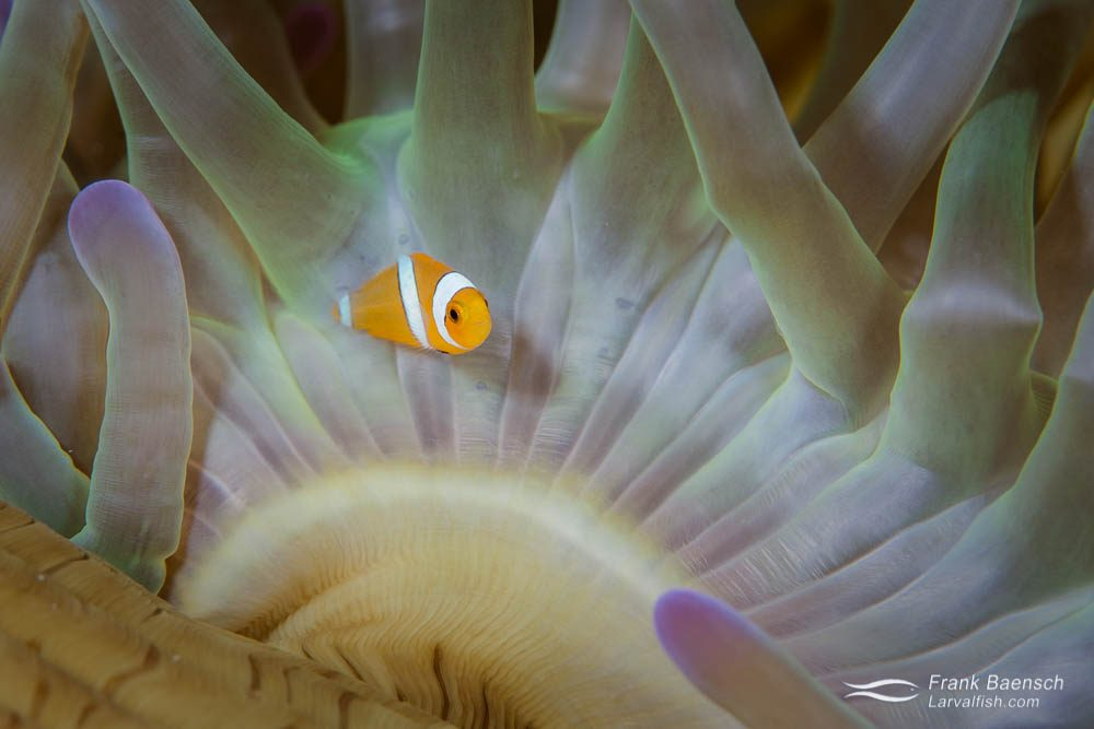 A newly settled juvenile clownfish (Amphiprion ocellaris) in its home anemone. Indonesia.