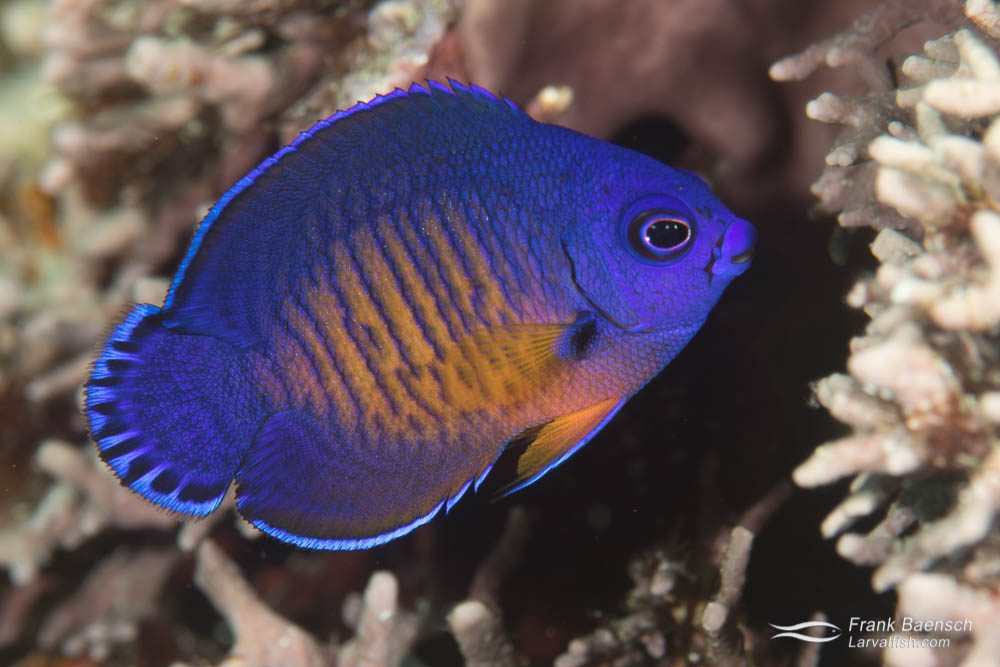Juvenile two-spined angelfish (Centropyge bispinosus). Papua New Guinea.
