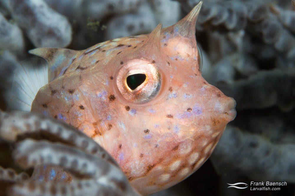 Juvenile cowfish (Lactoria fornasini). Indonesia.