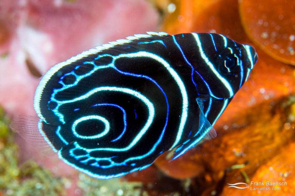 Juvenile emperor angelfish (Pomacanthus imperator). Juvenile emperors often feed off parasites and dead skin of larger fish species, acting as cleaner fish. Indonesia.