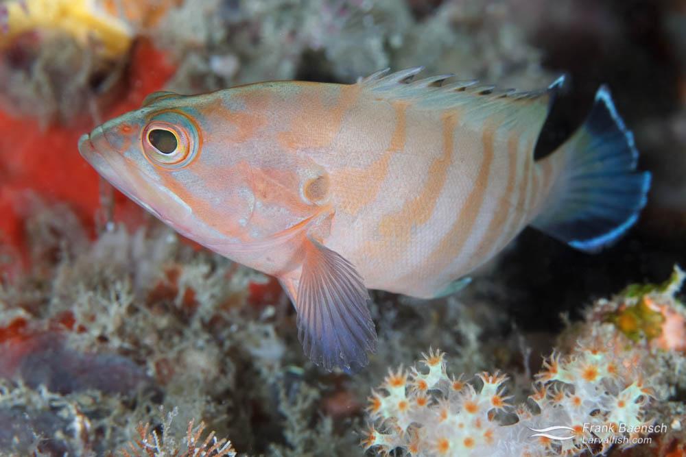 Juvenile grouper (Cephalopholis sp.). Indonesia.