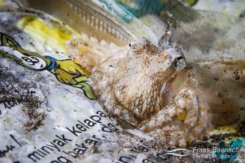 A juvenile octopus (Octopus sp.) hides in a plastic candy bag. Indonesia.