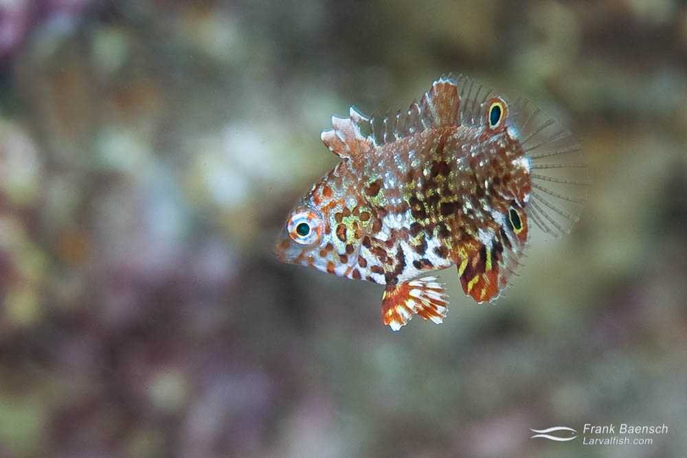 A tiny juvenile Ornate Leopard Wrasse (Macropharyngodon ornatus) blends into the background. Indonesia.
