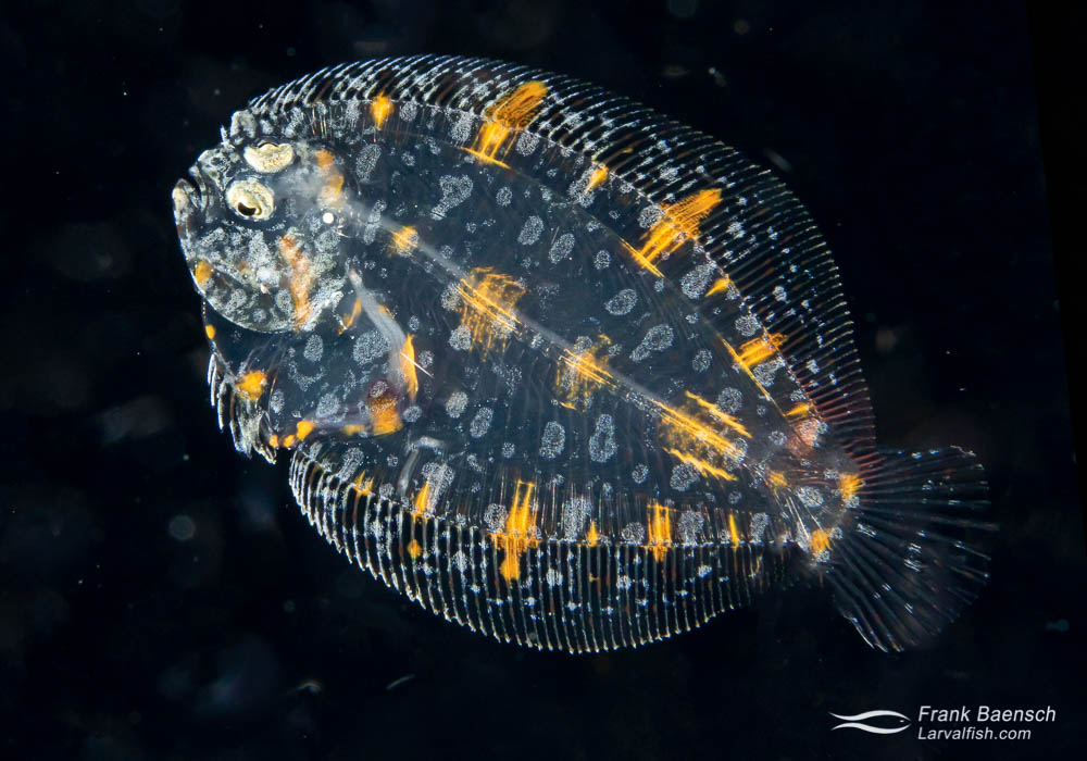 Peacock flounder  (Bothus mancus) juvenile on a blackwater dive in the Solomon Islands. Note both eyes are on the same side of the body - hence the fish is considered a juvenile, despite still being pelagic. Solomon Islands.