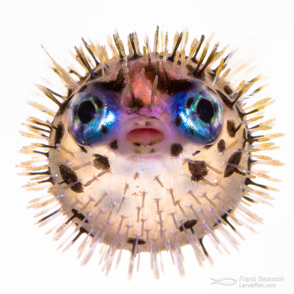 "A 34 day old cultured juvenile porcupine fish (Diodon holocanthus) - obviously upset about being in a photo tank. It's amazing porcupinefish have spines and can inflate their body at such a small size (3/4"")."