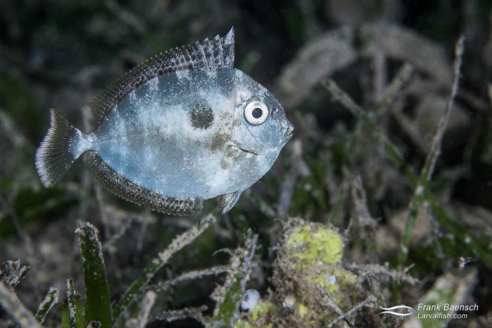 Juvenile surgeonfish hiding in seagrass. Papua New Guinea.