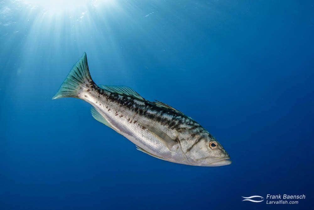 Kelp bass (Paralabrax clathratus). Mexico.