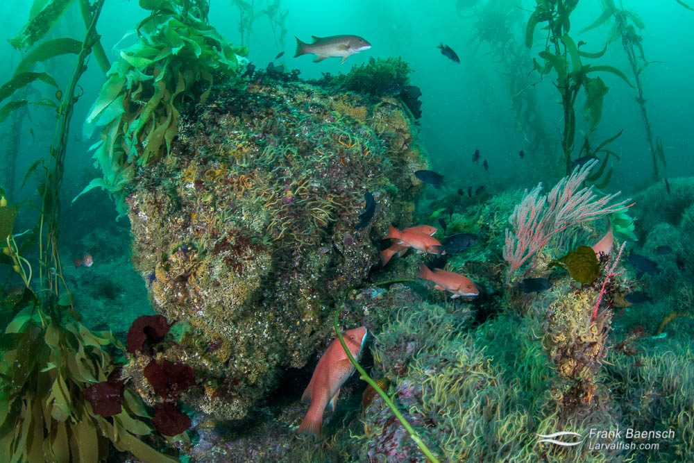 A diversity of fish and invertebrates inhabit the kelp forest bed as far as the eye can see. California.