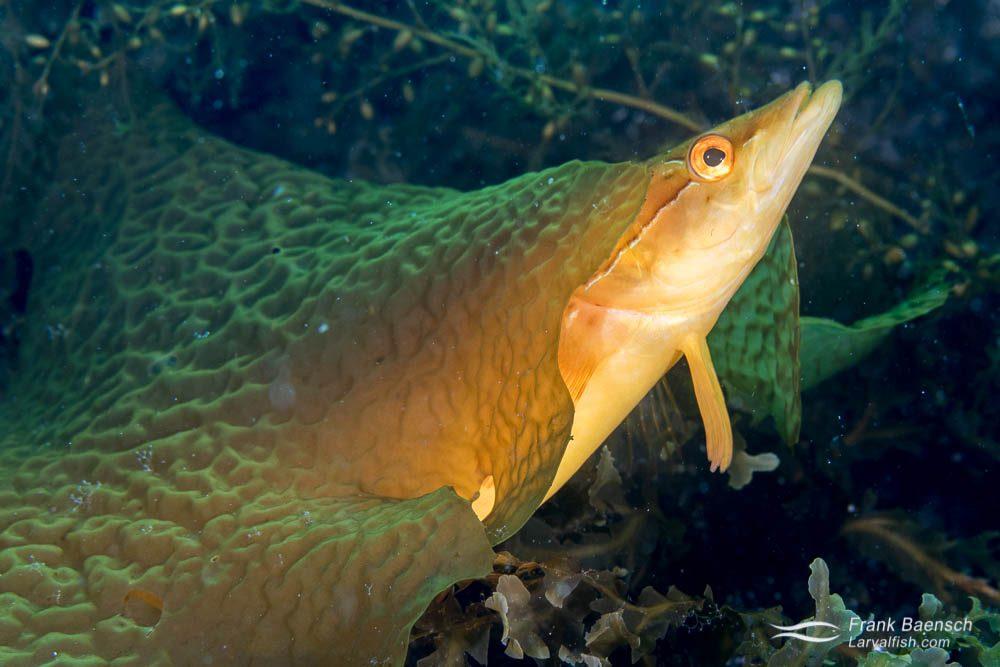 Giant Kelpfish (Heterostichus rostratus). California.