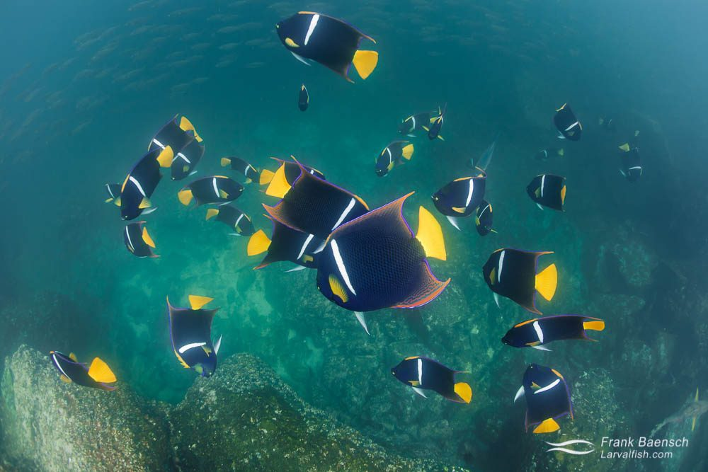 Snorkeling in the Galapagos Islands with adult king angelfish (Holocanthus passer) feeding on plankton. The shallows around the Galapagos Islands are so full of life - there's almost no need to dive here. Galapagos Islands.