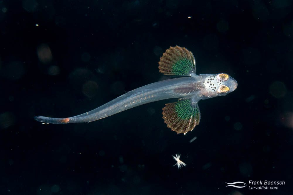 Blenny larva on a blackwater dive in the Solomon Islands.