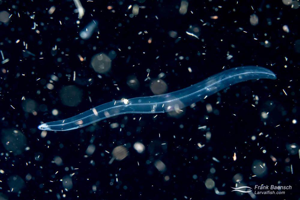 Moray eel larva on a bonfire dive in the Solomon Islands.