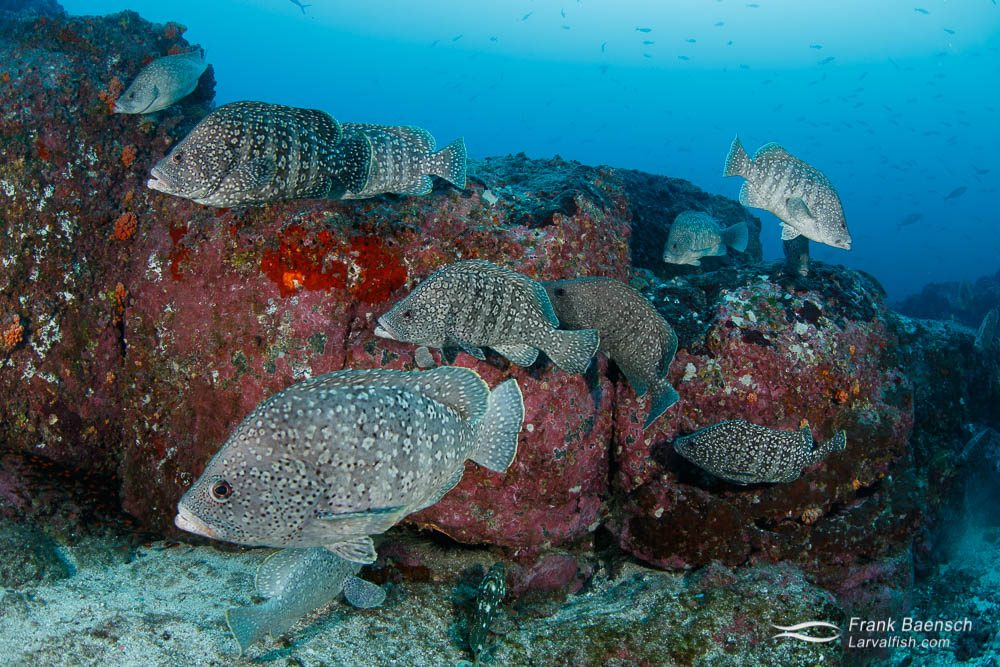 School of leather bass (Dermatolepis dermatolepis) at Cocos Island. Costa Rica.