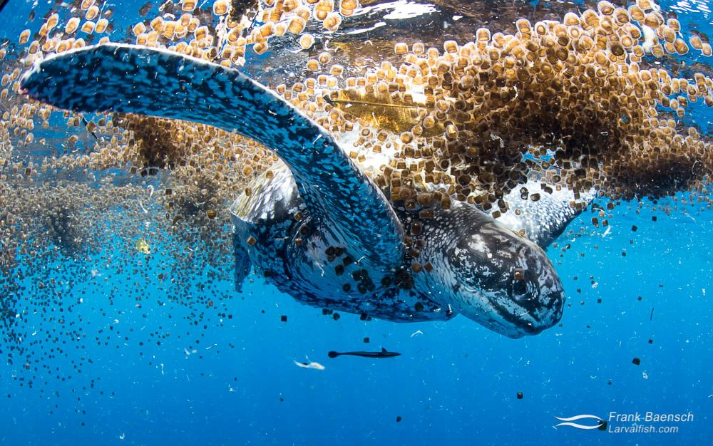 The rare sight of  a leatherback turtle (Dermochelys coriace) feeding on thimble jellyfish on the surface in the Solomon Islands.