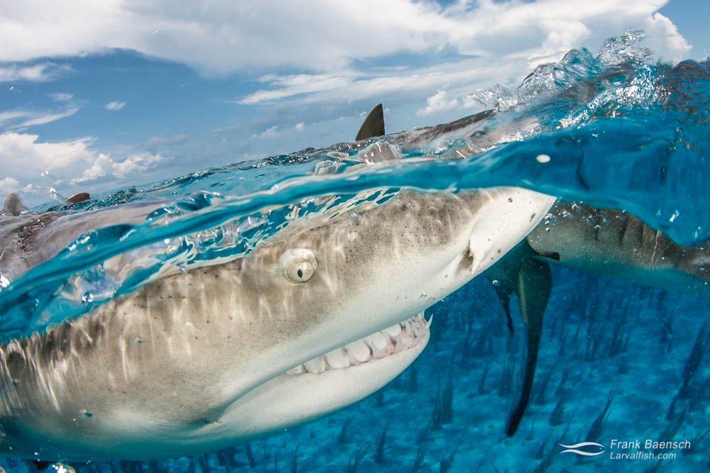 Split of lemon shark (Negaprion brevirostris) in turquoise waters of the  Bahamas.