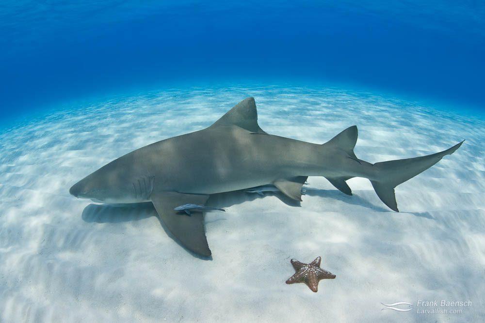 A lemon shark (Negaprion brevirostris) on white sand bottom next to a starfish. Bahamas.
