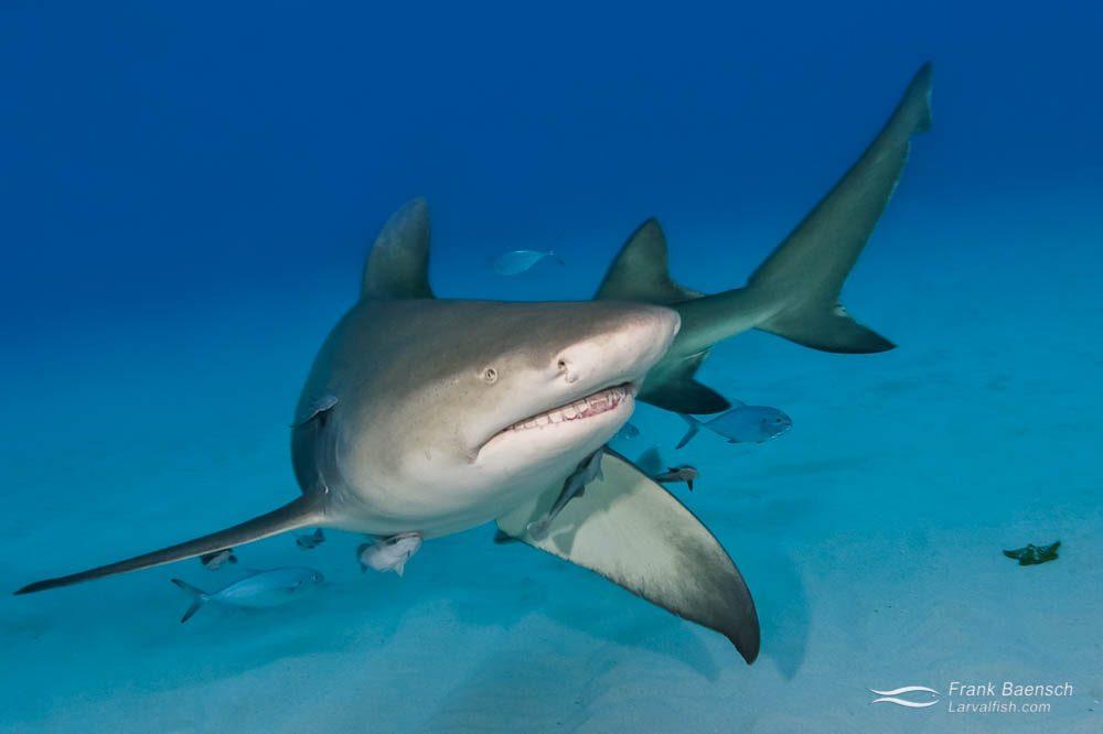 A lemon shark (Negaprion brevirostris) circles towards the camera. Bahamas.