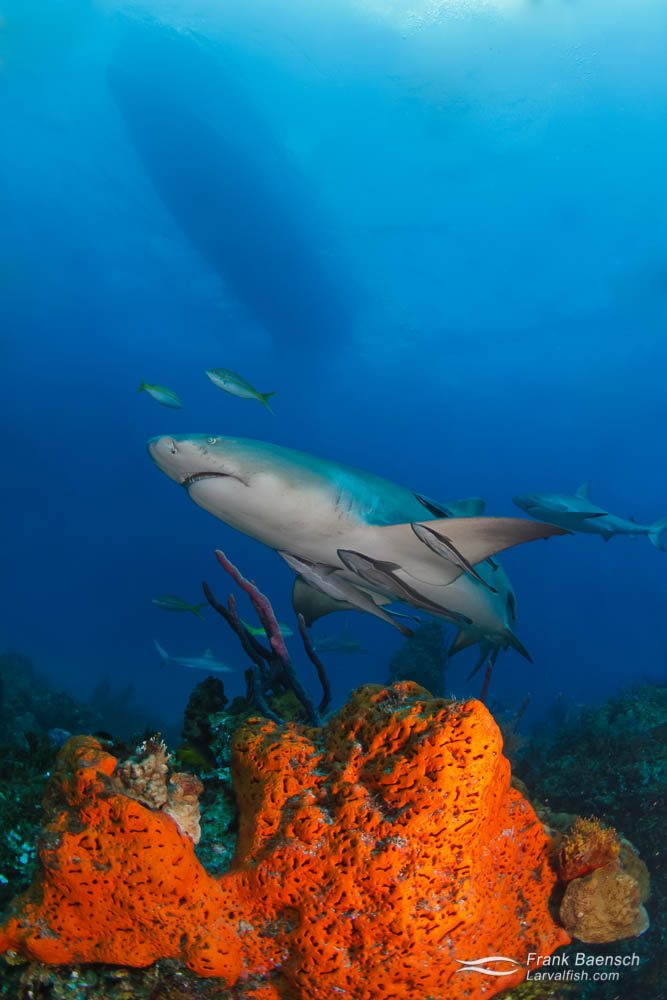 A lemon shark (Negaprion brevirostris) swims over an orange sponge. Bahamas.