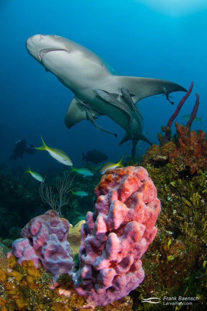 Lemon shark (Negaprion brevirostris) swims over purple sponge in the Bahamas.