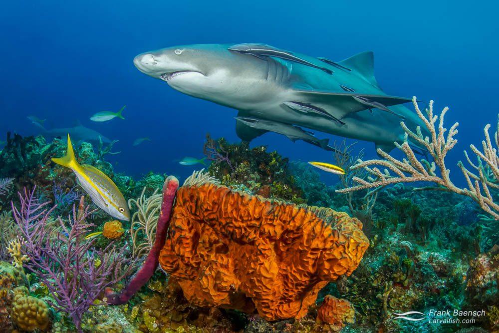 Lemon shark (Negaprion brevirostris) swims over orange sponge on a Bahamian  reef.