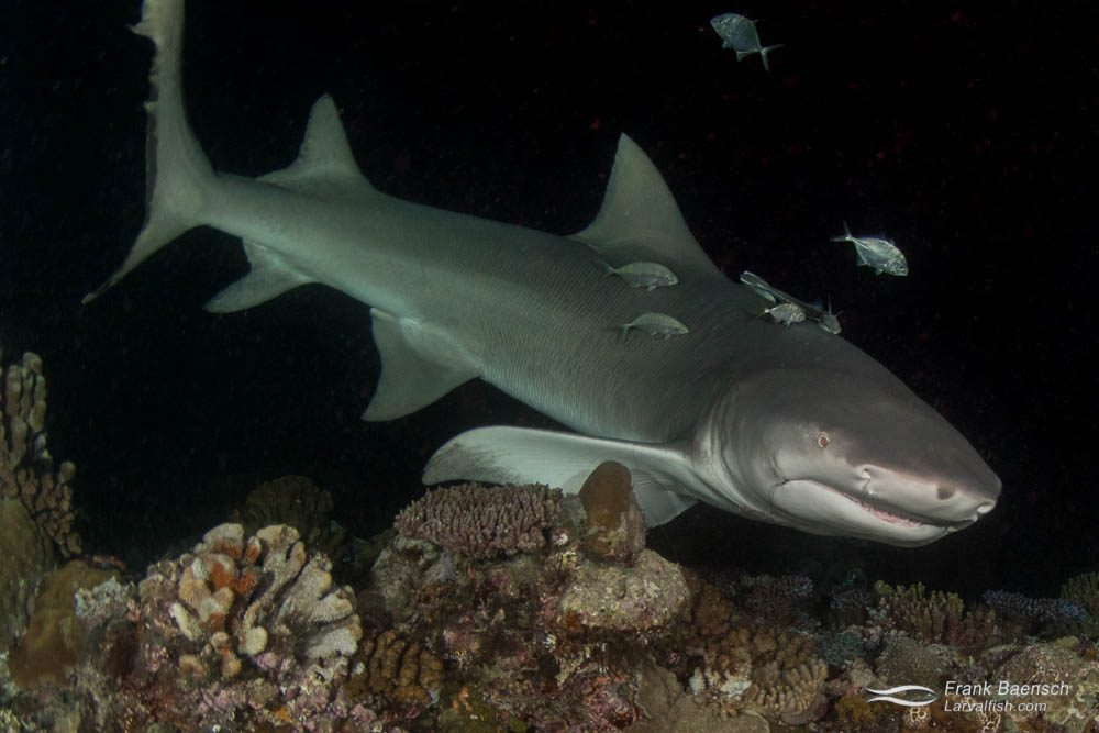 Sharptail lemon shark (Negaprion auctidens) hunting on a reef during a grouper spawning aggregation (Epinephelus polyphekadion) at night in Palau.