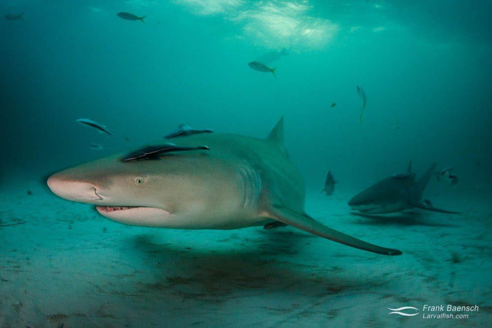 Lemon sharks (Negaprion brevirostris) on a turbid, green water morning. Bahamas.