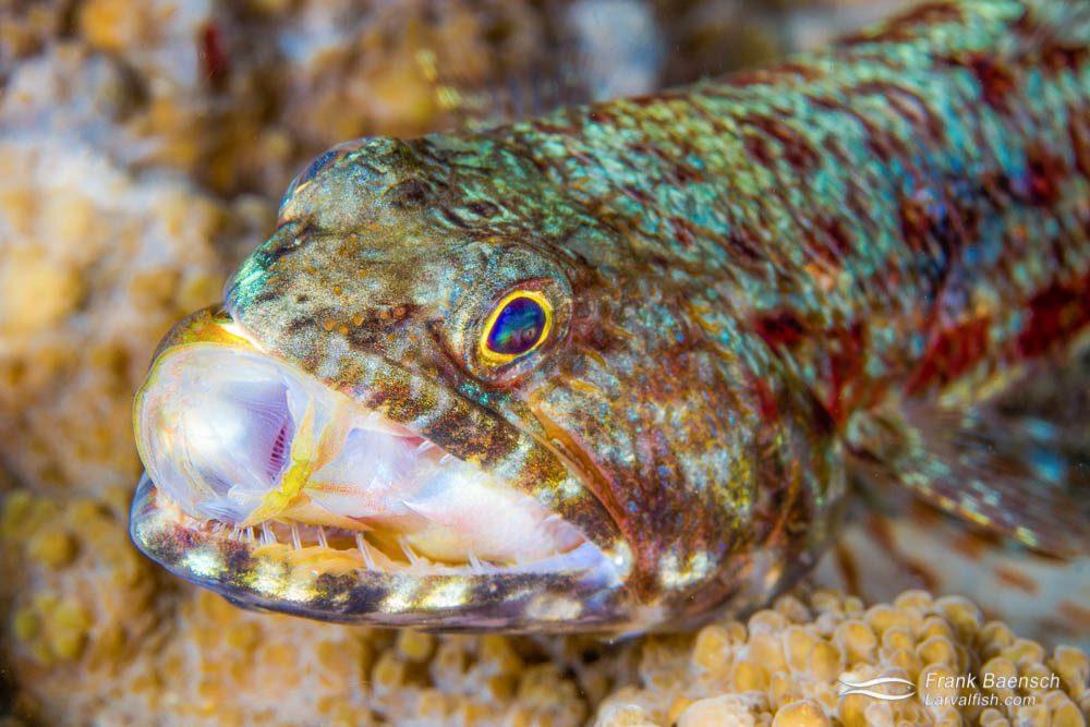 Lizardfish (Saurida gracilis) eating a reef perch. Indonesia.