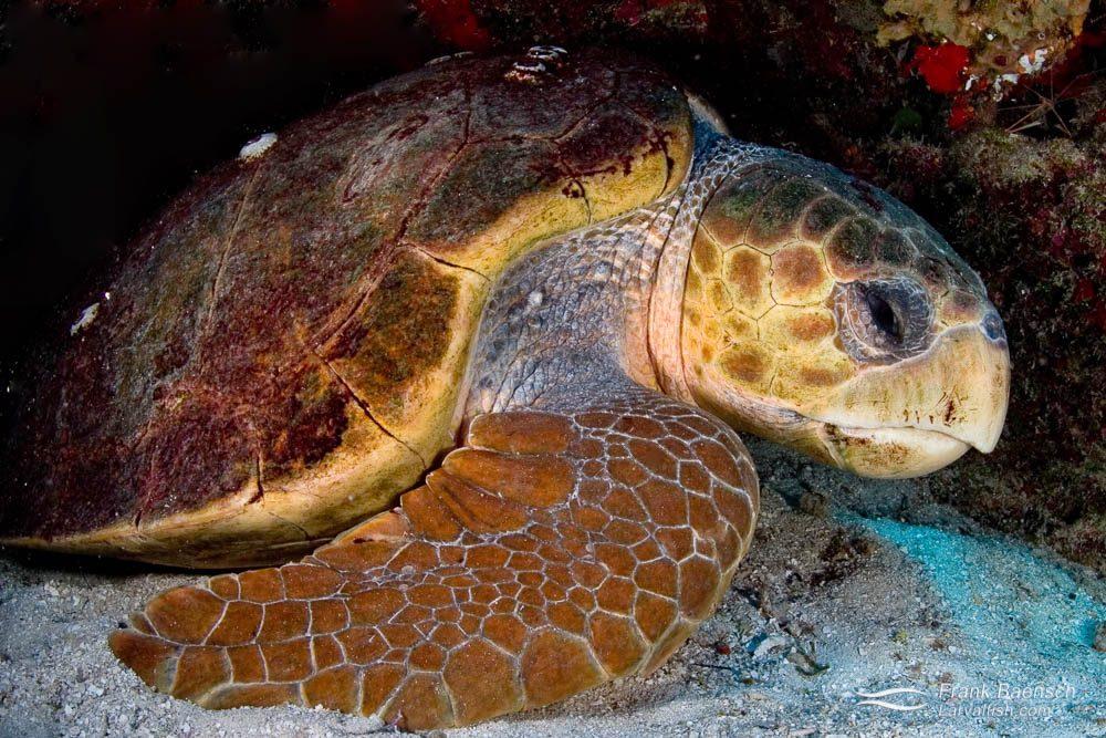 A loggerhead turtle (Carreta carreta) sleeping in a cave. Bahamas.