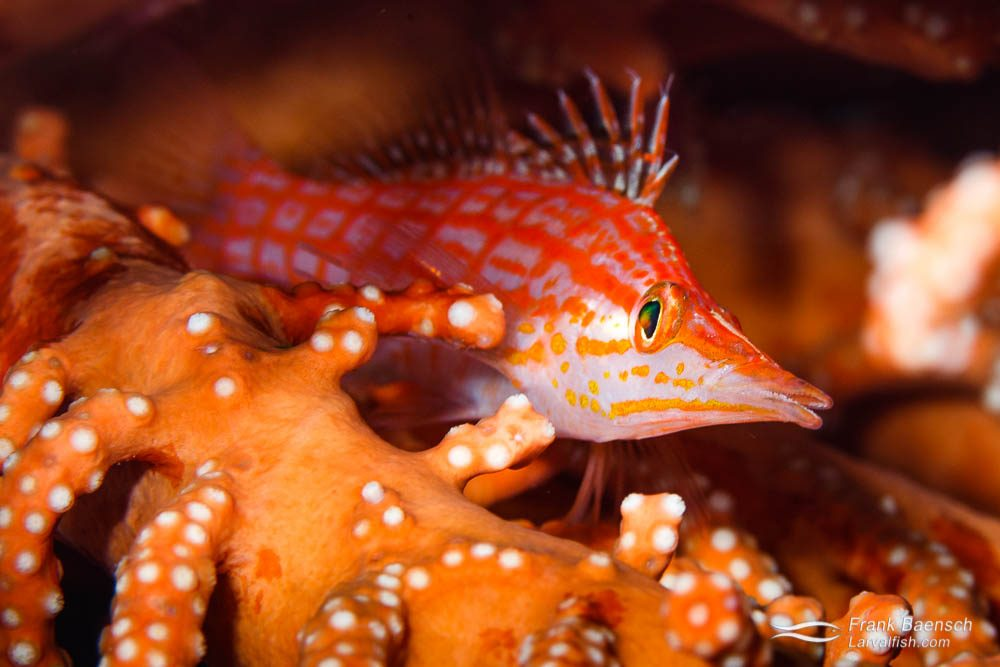 A long-nose hawkfish (Oxycirrhites typus) rests on a gorgonian. Indonesia.