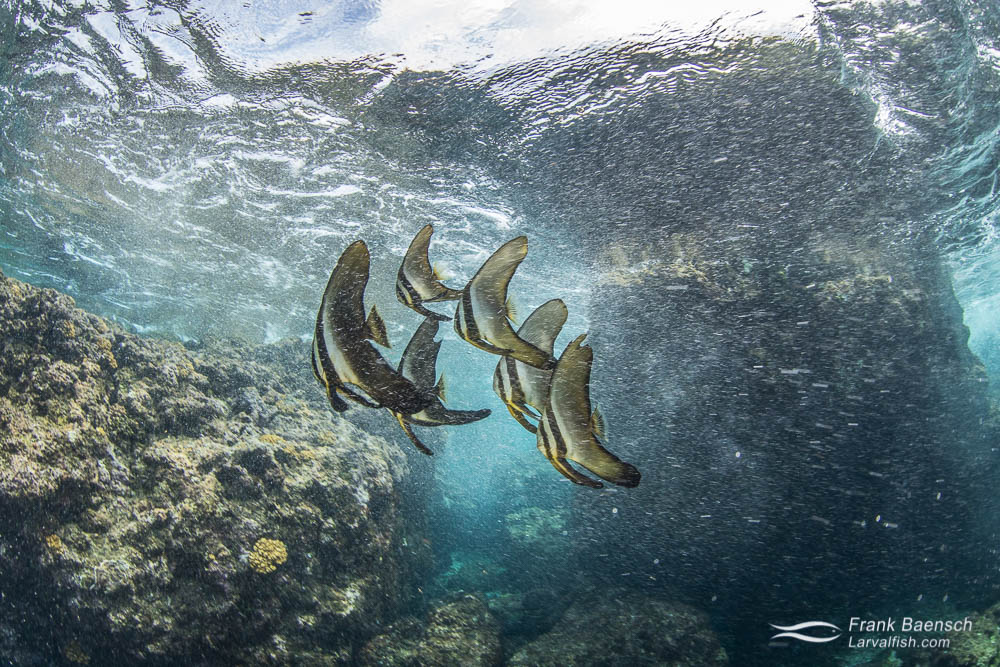 Longfin spadefish  (Platax teira) juveniles on a shallow reef in the Solomon Islands.